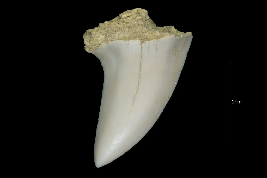 Sharktooth Hill Fossil
